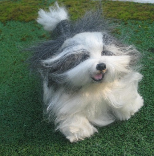 bearded collie.jpg1
